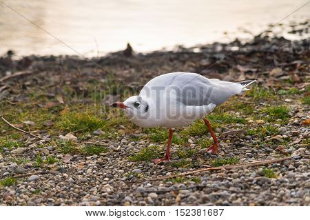 An aggressive seagull at the lake. Crazy Seagull