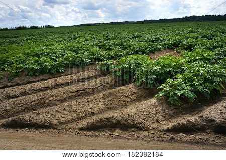 Potato Field with cloud and blue sky background , Green Potatoes Vegetables Plants