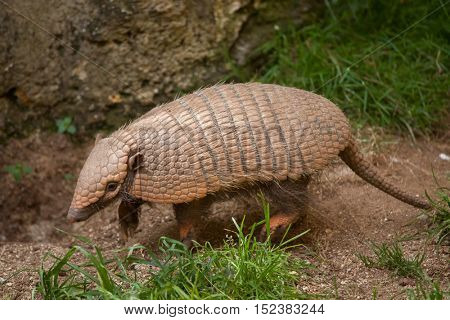 Six-banded armadillo (Euphractus sexcinctus), also known as the yellow armadillo. Wildlife animal.