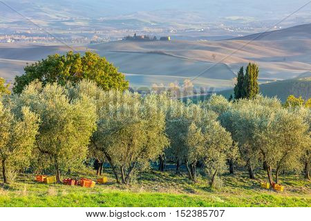 Olive trees plantation in harvesting time, autumn. Beautiful agricultural landscape, Mediterranean culture, Europe