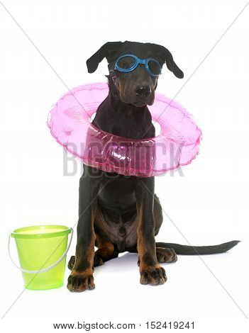 puppy beauceron dog in holidays in front of white background