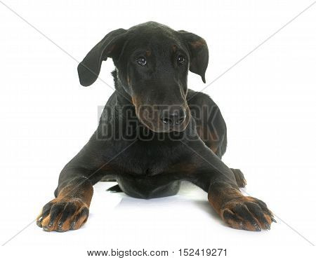 puppy beauceron dog in front of white background
