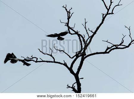 Sillhouette of crows taking flight from dead tree