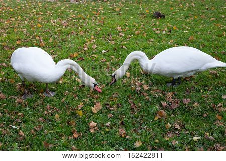 A pair of swans nibbling grass. Swans walking on the grass. Swans eat. White swans on the lawn. Autumn
