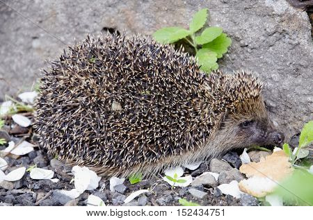 Hedgehog ordinary looking for a meal to  eat.