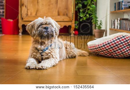 Beautiful milk chocolate havanese dog is lying on the floor in the room