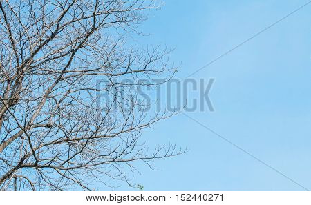 Closeup dried tree in the garden with beautiful clear blue sky textured background with copy space