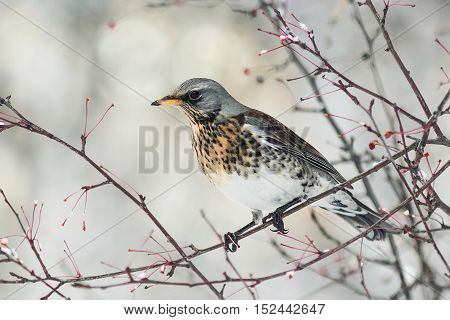 bird speckled thrush sitting on a branch with berries in winter Park