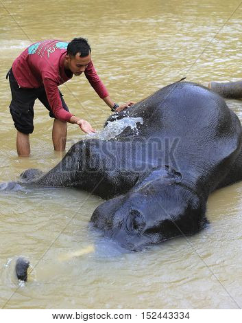 Mahout Help Asian Elephant While Bathing