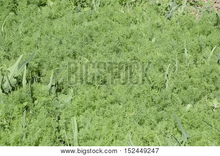 Growing Dill In The Garden. The Bed Of Fennel