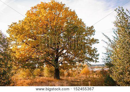 Autumn landscape with orange autumn oak tree in the field. Autumn nature -orange autumn oak in autumn sunny field. Picturesque autumn view of autumn nature. Autumn nature in sunlight