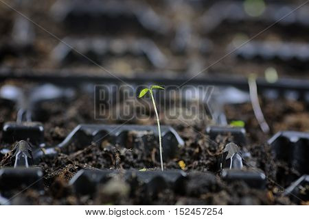 small fresh sprouts macro crop before planting in the ground
