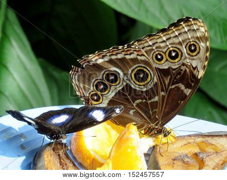 Niagara Falls Canada - July 162016: Great Eggfly and Common Morpho in garden.