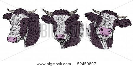 Cow calf bull cute muzzle face in three different poses collection isolated white background