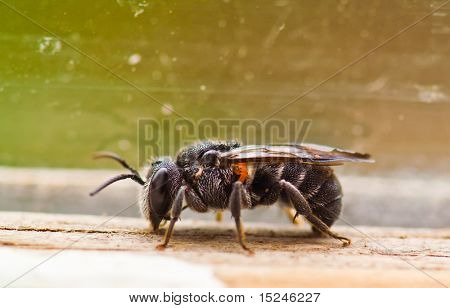 insect, black bee, macro closeup poster