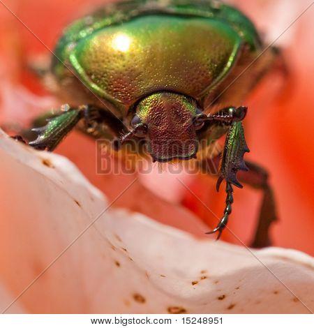 Cetonia aurata (rose chafer - beetle) poster
