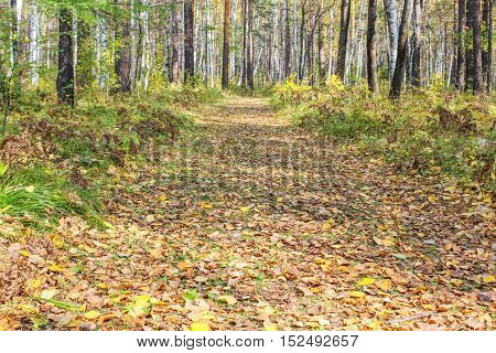 Fallen leaves on a track in the autumn forest