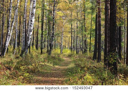 Walk among the trees in the autumn forest