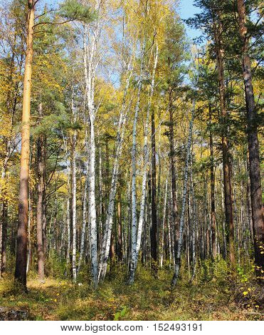 Thin birch among the trees of the forest