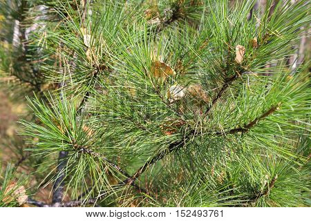 Yellow leaves on the green branches of a spruce