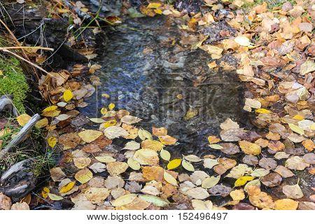 Yellow fallen birch leaves in the water