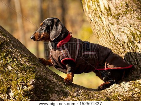 Dachshund dog in overalls