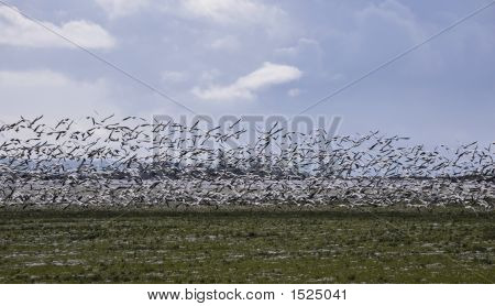Geese In The Flight 4