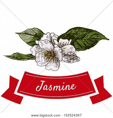 Jasmine flower colorful illustration. Vector illustration of jasmine flower.