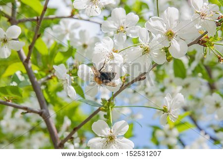 Close Up View Of Bumblebee Harvesting Pollen From Cherry Blossom