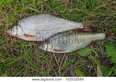 Several Common Roach Fish On Green Grass. Catching Freshwater Fish On Natural Background..