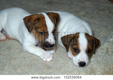 jack, russell, puppy, white, cute, dog, background, terrier, animal, domestic, purebred, portrait, studio, isolated, brown, pet, canine, young, one, front, looking, creature, breed, pedigree, pedigreed, doggy, happy, view, head, sitting, funny, mammal, an