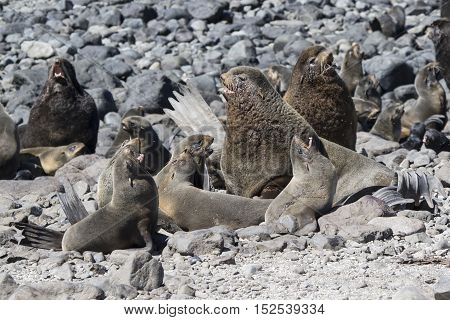 Harem of northern fur seal rookery on a hot sunny day
