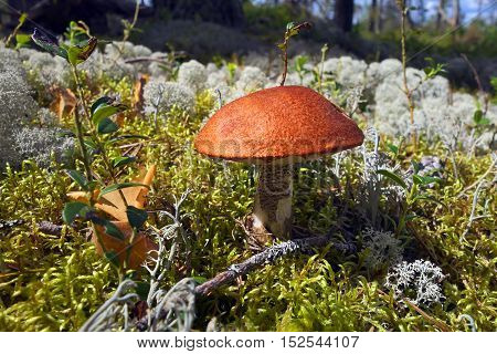 Boletus mushroom and lichen growing in forest.