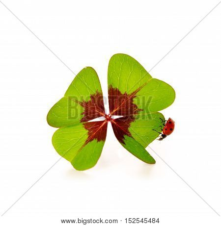 Lucky symbols: four-leaf clover and ladybug.Green cloverleaf and ladybirds, lucky charm.