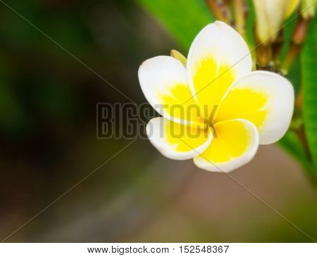 frangipani flowers Frangipani Pagoda tree nature background