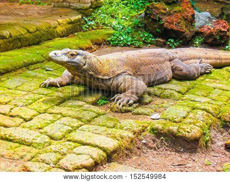 The Komodo Dragon against green grass Indonesia