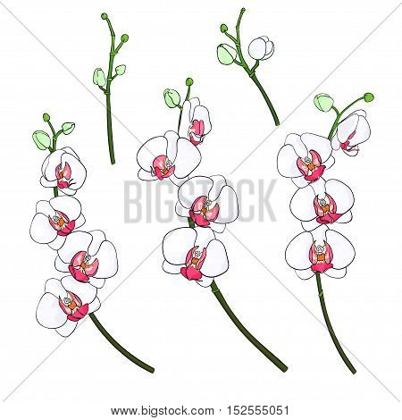 Set of isolated branches with blooming colorful orchids and buds on a white background drawn by hand. White Phalaenopsis with a bright pink color midway. Hand drawn vector illustration.