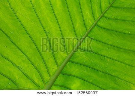 Giant green tropical leaf background of Caladium leaf