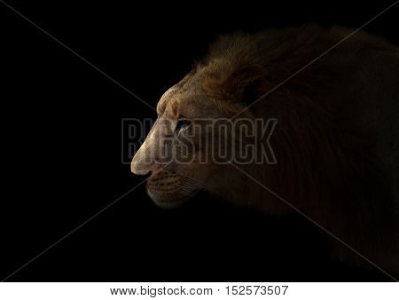 Yong Male Lion In The Dark