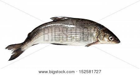 Whitefish on a white background. Crude lake fish
