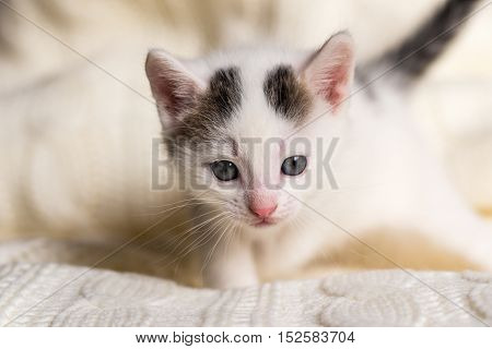 White Small Kitten With Two Dark Spots On Head