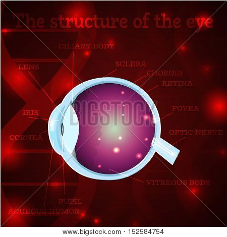 Human eye anatomy structure.Medical manual for ophthalmology clinic, vector illustration.Iris, pupil, lens, nerve, macula, retina, cornea on red dna chain wallpaper for optician clinic.Medical infographics