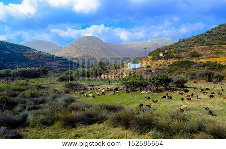 Typical Cretan landscape with sheeps, goats and shepperd.
