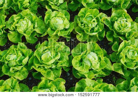 The Benefits of Growing Your Own Butter Lettuce. (Butter lettuce)