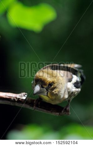 Perching juvenile Hawfinch (Coccothraustes coccothraustes) at the tree