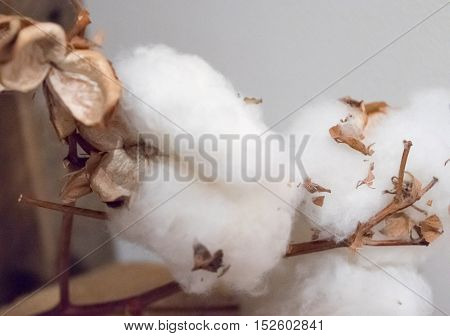 White bolls of fluffy cotton on branches with leaves