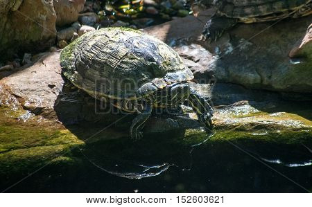 Shelled turtle entering water at rocky shoreline - stripes in yellow and black on head