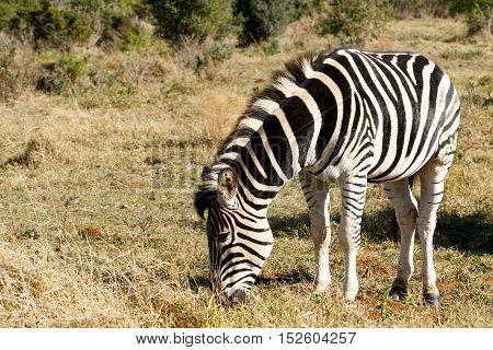 Burchell's Zebra Eating Grass
