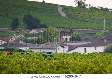 Workers In Vineyards Of Beaujolais During Harvest, France