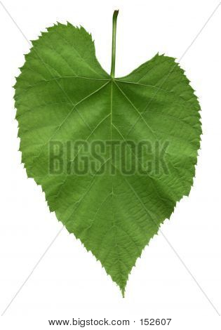 Leaf Of American Linden Tree
